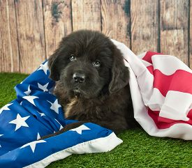 stock photo of newfoundland puppy  - Newfoundland puppy wrapped up in an American flag outdoors - JPG