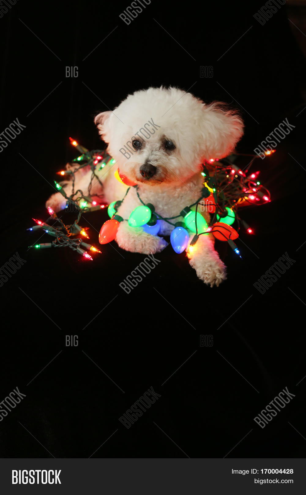 White And Colored Christmas Lights Part - 48: A Beautiful Bichon Frise Dog Sits Against Black Velvet White Colored  Christmas Lights. Christmas Lights