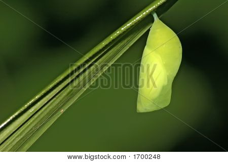 Pupa Of A Diurnal Butterfly Papilionidae