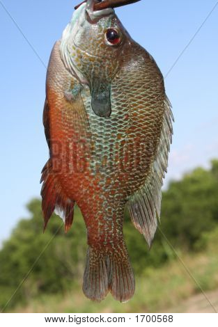 Colorful Fresh Water Perch