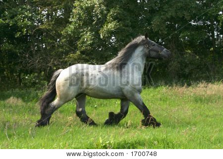 Draft Horse In A Trot