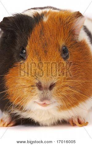 Portrait of a Guinea-pig. Macro a photo.