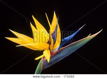 Exotic Flower Of Bird Of Paradise