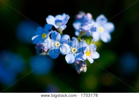 Flowers Of A Forget-Me-Not Close Up