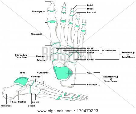Human Foot Bones Anatomy Diagram In Anatomical Position Front And