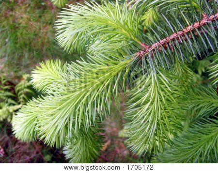 Fir Tree New Growth