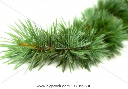 Cedrus libani on white background