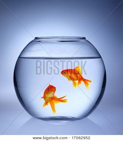 Gold fishes in aquarium