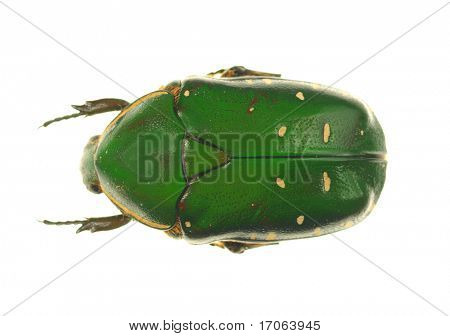 Goliath beetle on white background