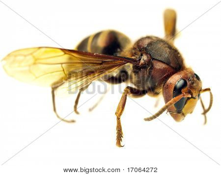 Big hornet on white background