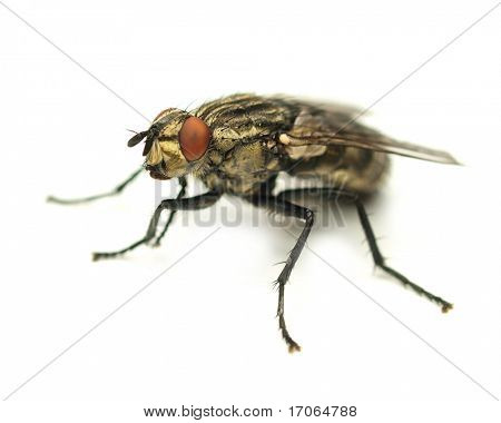 Common house fly isolated on white