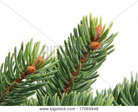 Branch of Picea glauca. Detail. True real colors.