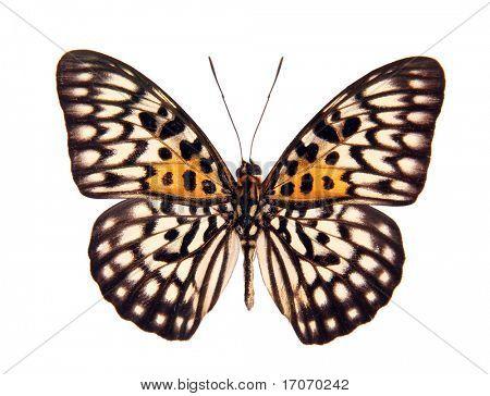 Butterfly Neurosigma Siva Nonius isolated on white
