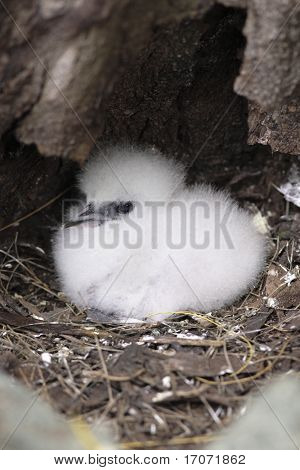 Juvenile White tailed Tropicbird mascott of the seychelles island in curieuse or curious island