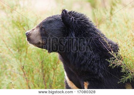 Tibeatan Bear in nature
