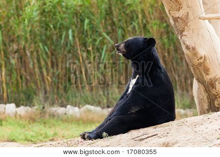 bear sit resting in nature