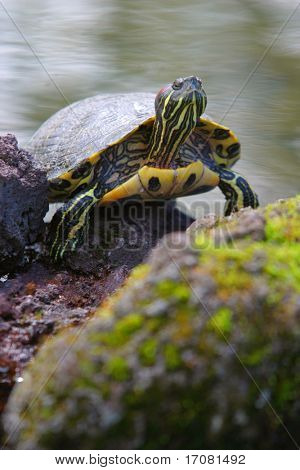 A terrapin climbs out of the water and looks skywards