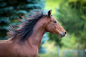 Bay horse portrait on green background. Trakehner horse with long mane running outdoor. poster