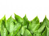 pic of green leaves  - leaves background - JPG