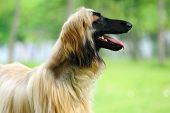 stock photo of hirsutes  - An afghan hound dog standing on the lawn - JPG