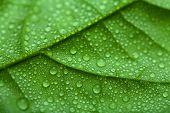 picture of green leaves  - fresh green leaf with water drops - JPG
