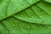 Постер, плакат: свежие зеленые листья с водой падает
