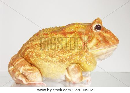 Big yellow frog.