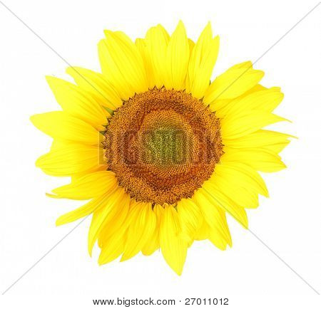 Sunflower flower isolated on white