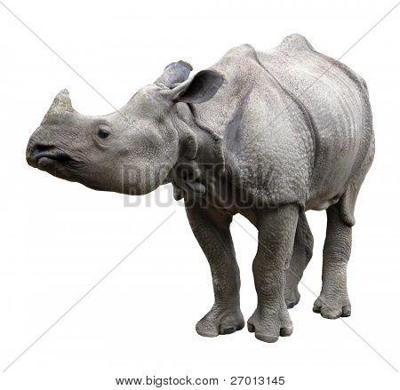 Rhinoceros rhino