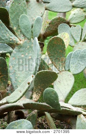 Group Of Beaver Tail Cactus
