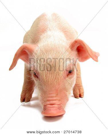 Schwein Baby Ferkel