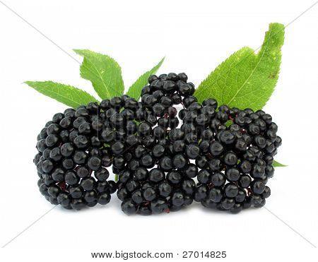 Elderberry Sambucus nigra