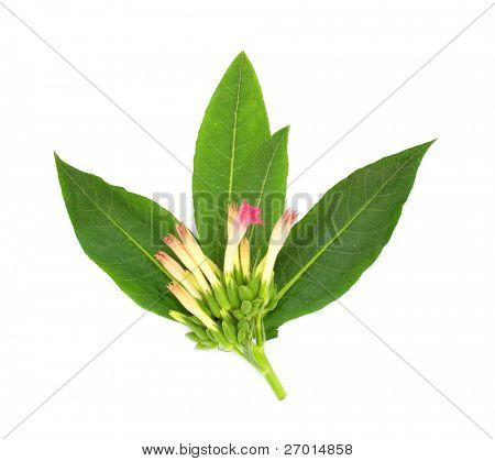 Tobacco plant flower, leaves, and buds