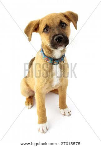 Adopted pariah dog puppy with collar