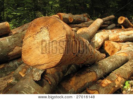 Clearfelling forest clearcut logging