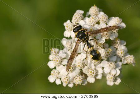 Wasp Waist - Concept: Diet