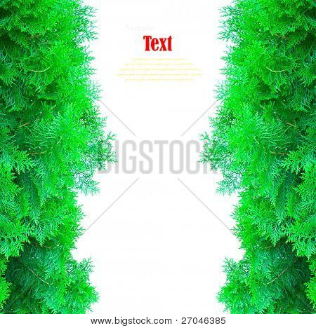 Green thuja, thuya isolated on white background with copy space.