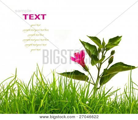Hibiscus flower with green leaves and fresh spring green grass isolated on white background.