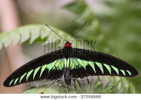 Trogonoptera brookiana especies, uno de la mariposa diurna más grande del mundo, Tapas Hill, Malayo