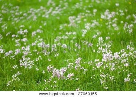 cuckoo flowers  in fresh spring meadow, shallow Depth of field