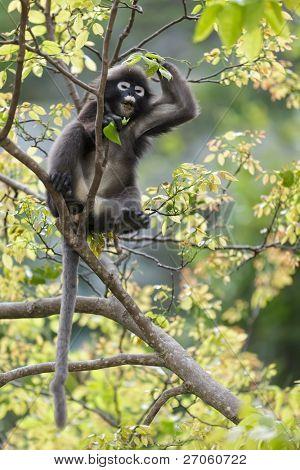 Dusky blad aap zittend op de vertakking van de beslissingsstructuur, thailand