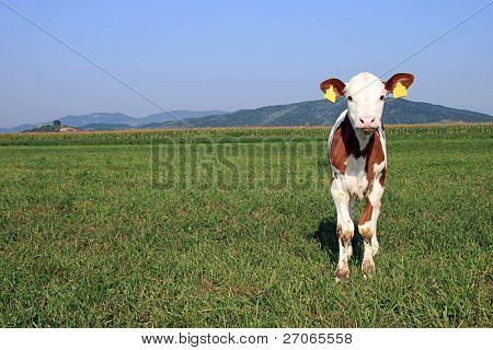 curious calf on a grass field