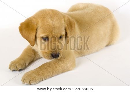sleepy Puppy Labrador retriever on white background