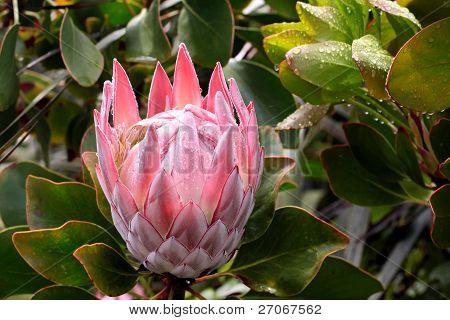 King Protea Blossom  (protea Cynaroides)