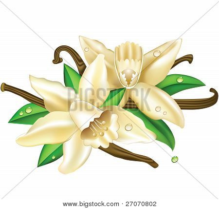 Vector illustration vanilla flowers
