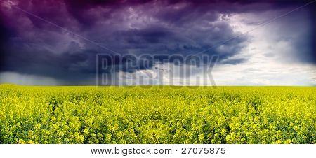 oilseed rapeseed, storm