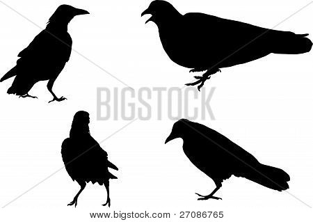 Dove And Three Ravens, Silhouette