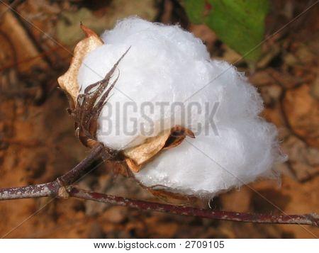 Organic Cotton Bole