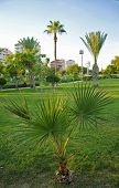 Green Dwarf Palm Tree Growing In The Subtropical Park poster