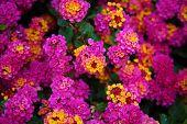 Pink Lantana Flowers. Beautiful Pink Lantana Flowers with hints of Yellow, Green, Gold, Purple, Brow poster